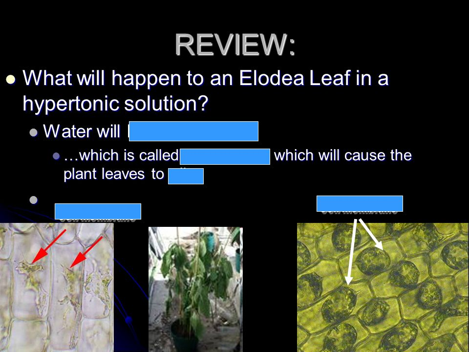 REVIEW: What will happen to an Elodea Leaf in a hypertonic solution? What will happen to an Elodea Leaf in a hypertonic solution? Water will leave the