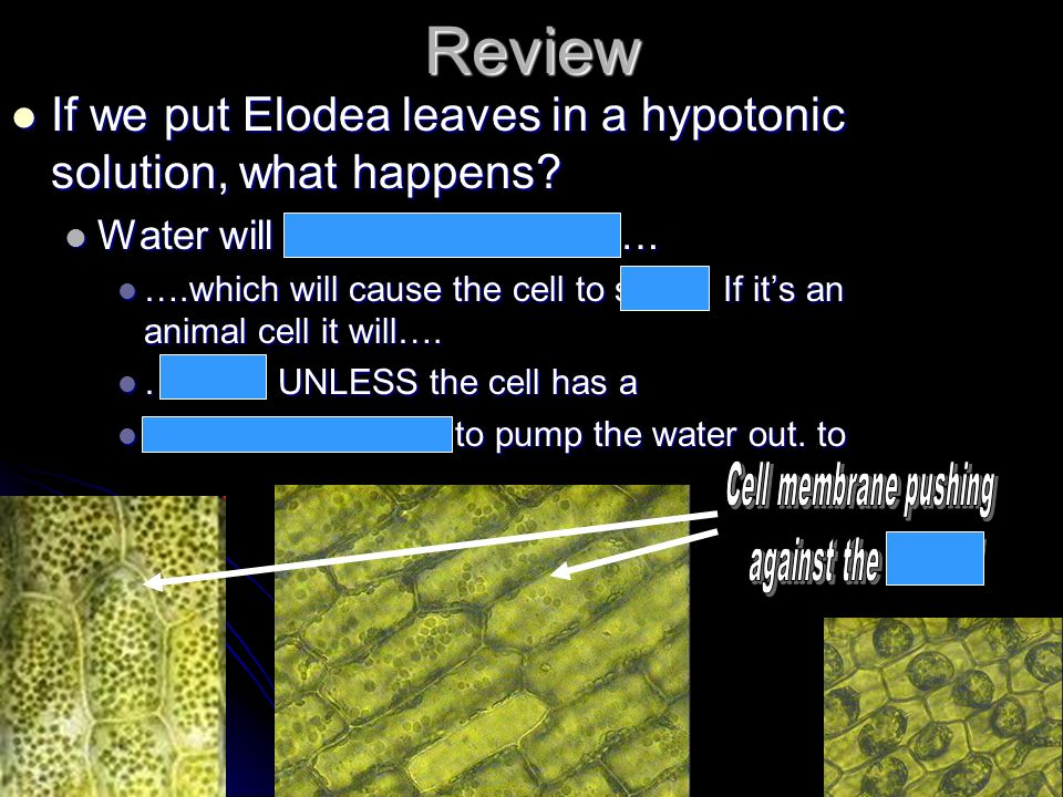 Review If we put Elodea leaves in a hypotonic solution, what happens? If we put Elodea leaves in a hypotonic solution, what happens? Water will move i