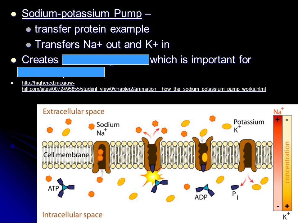 Sodium-potassium Pump – Sodium-potassium Pump – transfer protein example transfer protein example Transfers Na+ out and K+ in Transfers Na+ out and K+