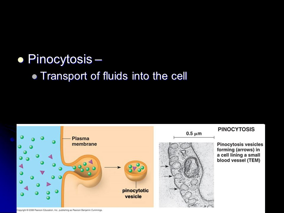 Pinocytosis – Pinocytosis – Transport of fluids into the cell Transport of fluids into the cell