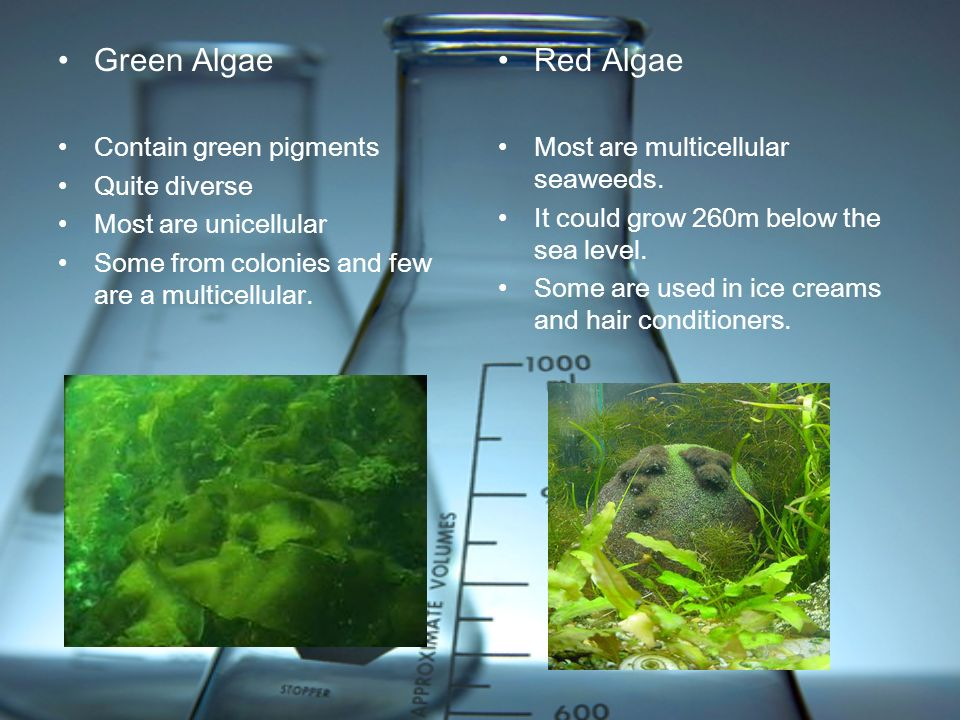Green Algae Contain green pigments Quite diverse Most are unicellular Some from colonies and few are a multicellular. Red Algae Most are multicellular