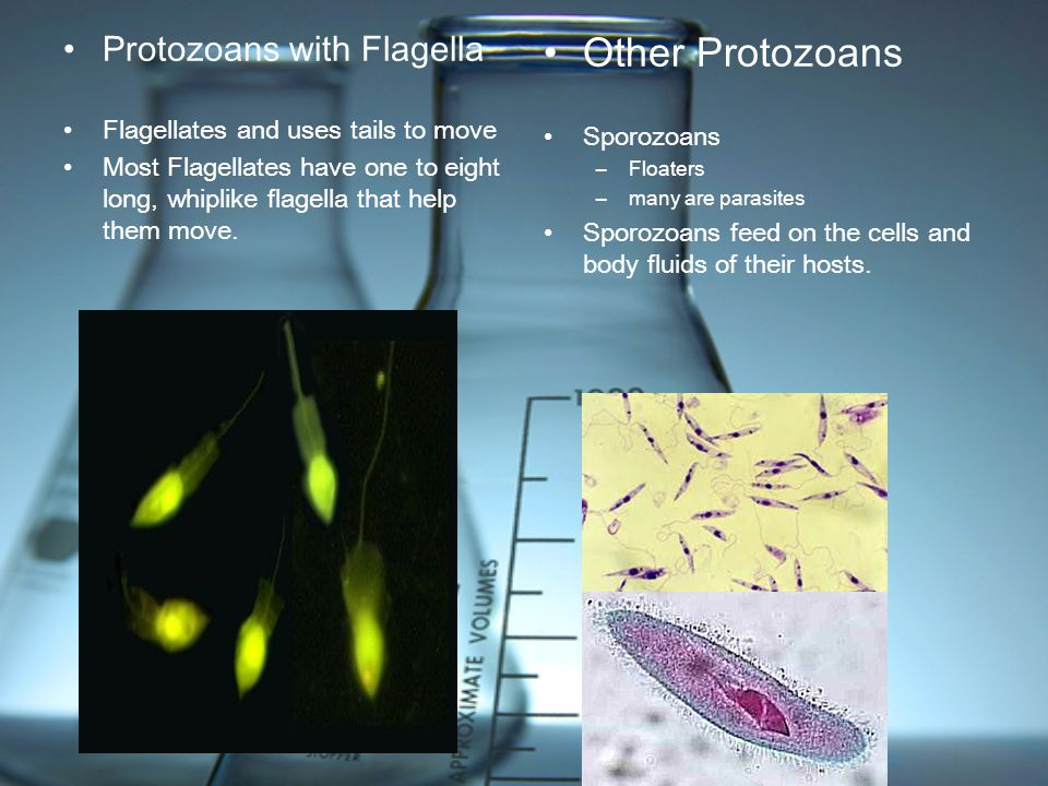Protozoans with Flagella Flagellates and uses tails to move Most Flagellates have one to eight long, whiplike flagella that help them move. Other Prot