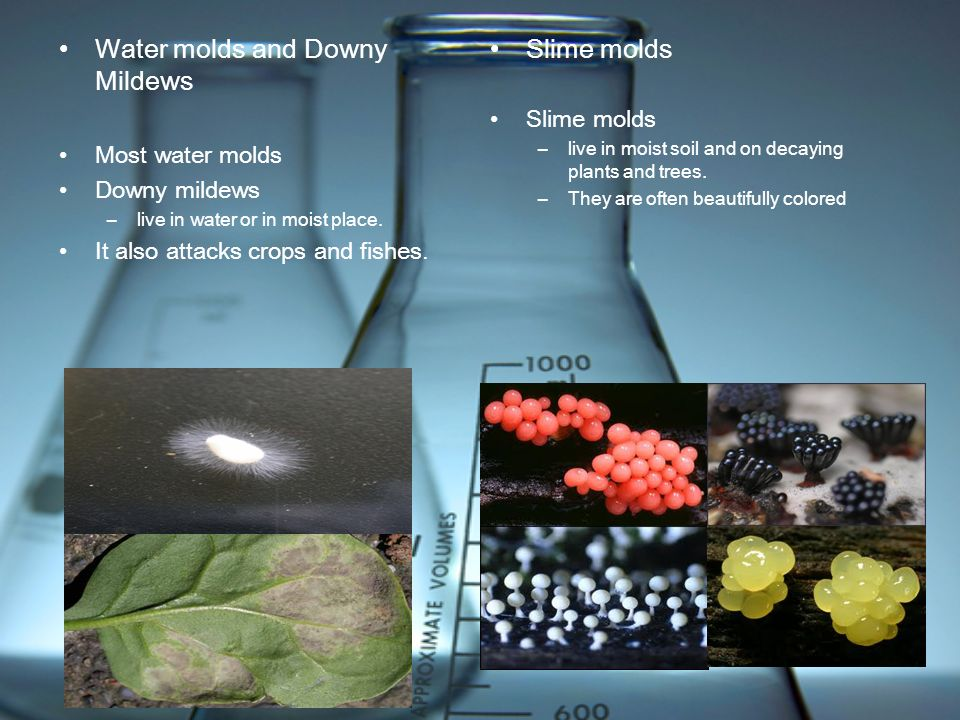 Water molds and Downy Mildews Most water molds Downy mildews –live in water or in moist place. It also attacks crops and fishes. Slime molds –live in