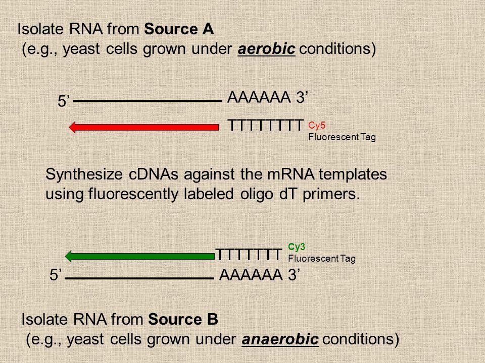 5 3 AAAAAA TTTTTTTT Cy5 Fluorescent Tag 53AAAAAA TTTTTTT Isolate RNA from Source A (e.g., yeast cells grown under aerobic conditions) Isolate RNA from