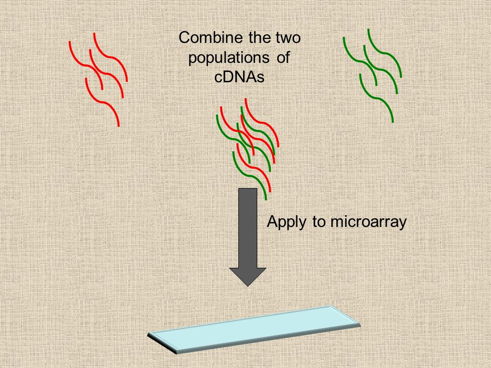 Combine the two populations of cDNAs Apply to microarray