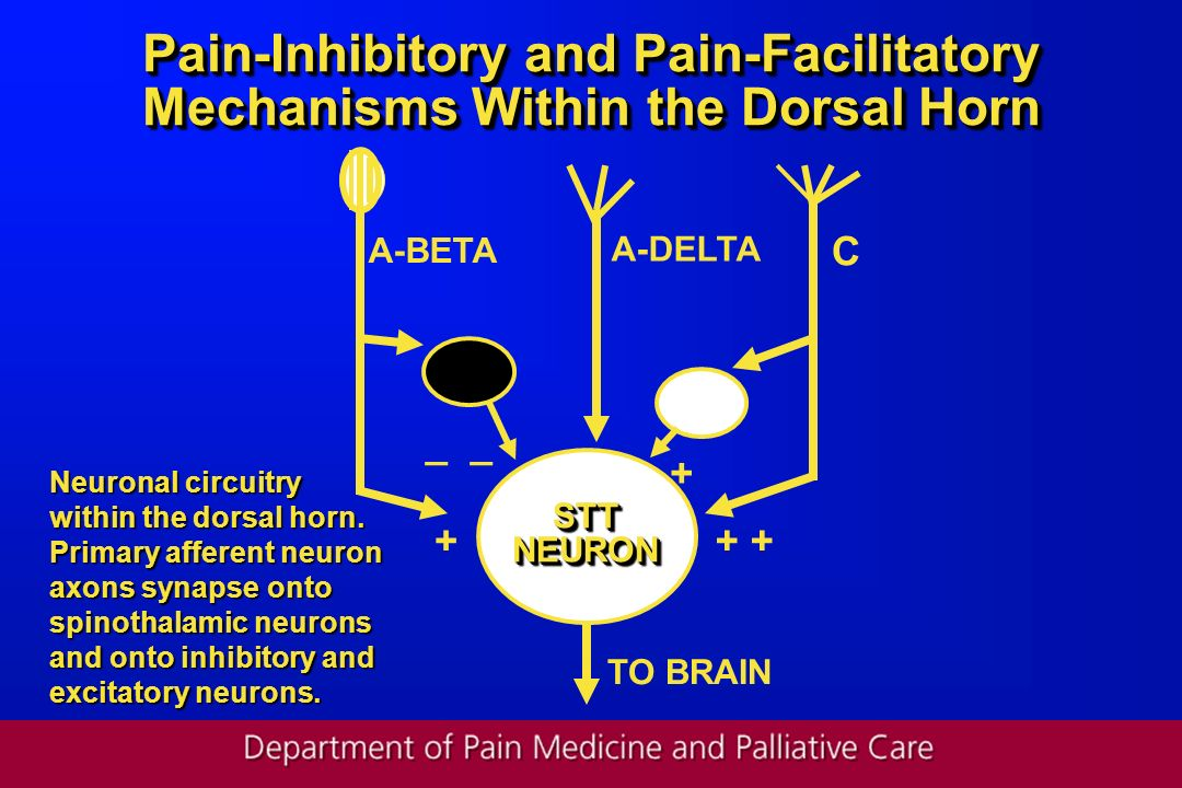 Pain-Inhibitory and Pain-Facilitatory Mechanisms Within the Dorsal Horn A-DELTA A-BETA C Neuronal circuitry within the dorsal horn. Primary afferent n