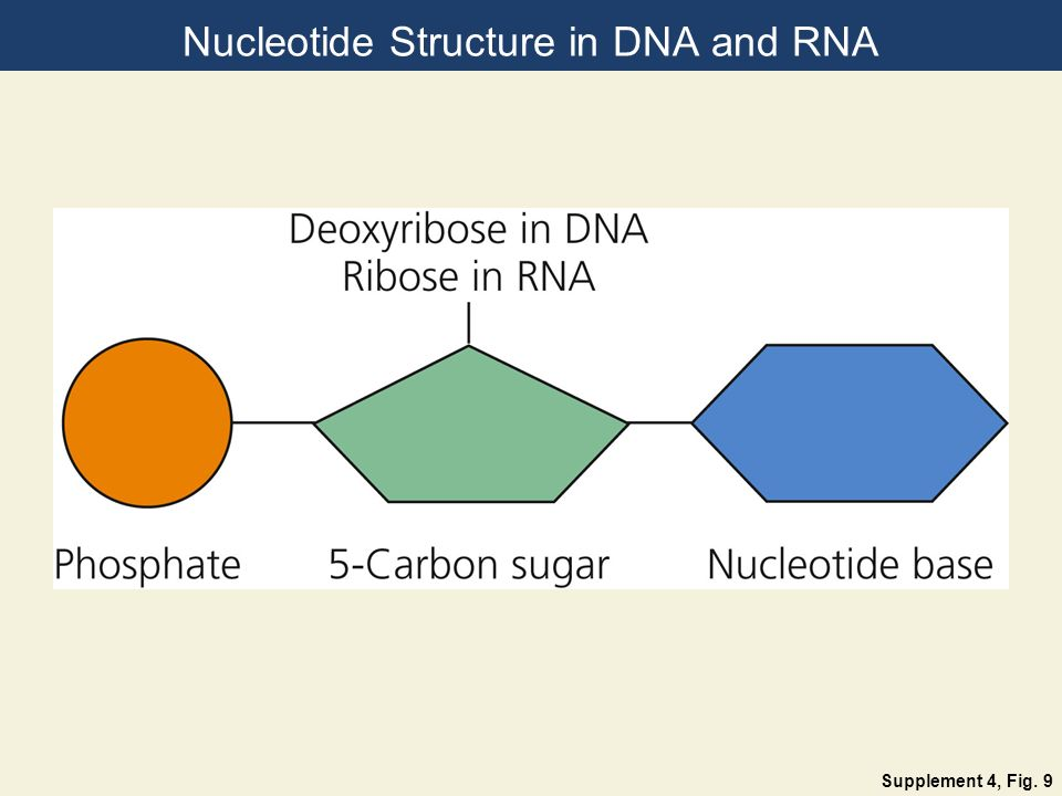 Nucleotide Structure in DNA and RNA Supplement 4, Fig. 9
