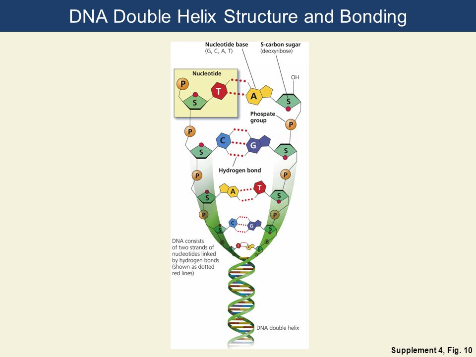 DNA Double Helix Structure and Bonding Supplement 4, Fig. 10