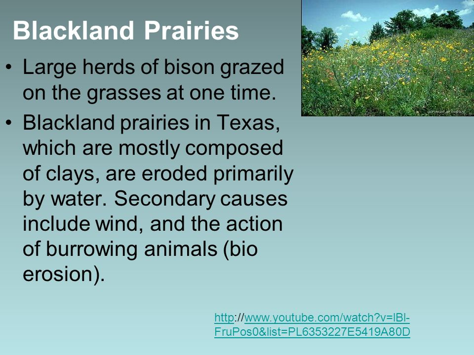 Large herds of bison grazed on the grasses at one time. Blackland prairies in Texas, which are mostly composed of clays, are eroded primarily by water