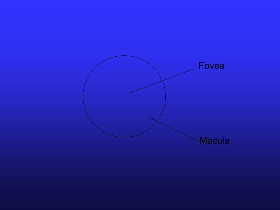 Fovea Macula