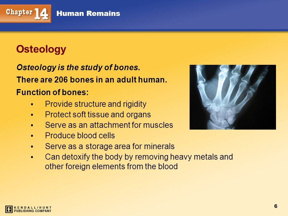 Human Remains 6 Osteology Osteology is the study of bones. There are 206 bones in an adult human. Function of bones: Provide structure and rigidity Pr