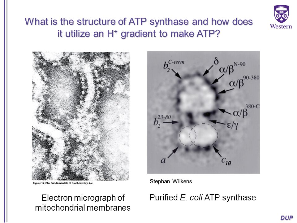 DUP What is the structure of ATP synthase and how does it utilize an H + gradient to make ATP? Electron micrograph of mitochondrial membranes Purified