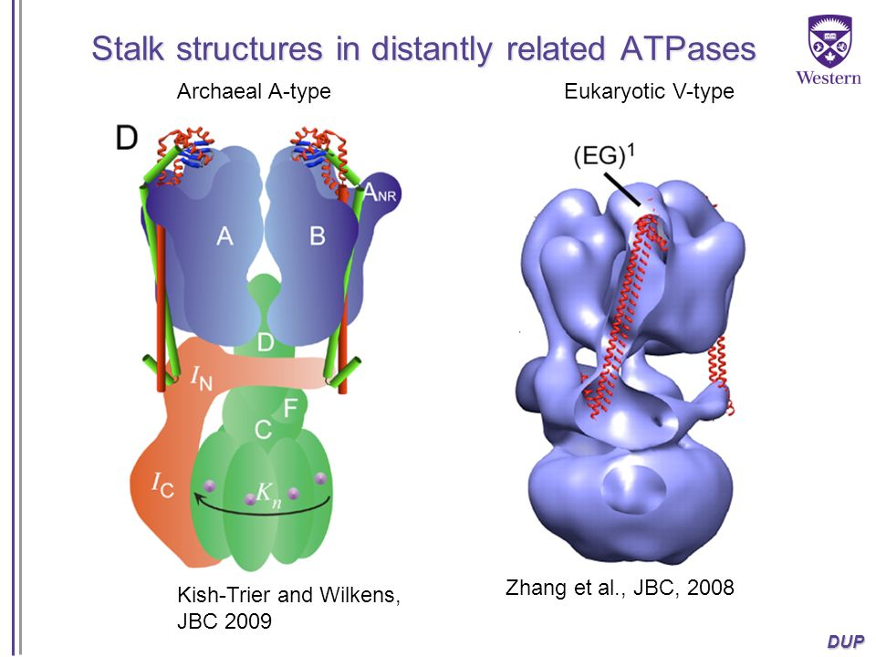 DUP Stalk structures in distantly related ATPases Archaeal A-type Kish-Trier and Wilkens, JBC 2009 Eukaryotic V-type Zhang et al., JBC, 2008