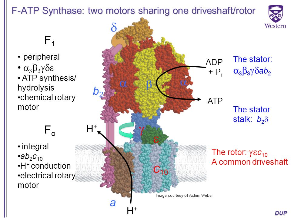 DUP F-ATP Synthase: two motors sharing one driveshaft/rotor F 1 peripheral ATP synthesis/ hydrolysis chemical rotary motor ADP + P i ATP The stator: 3