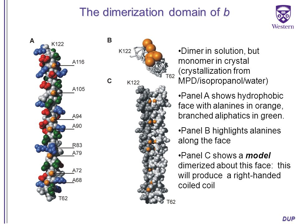 DUP The dimerization domain of b Dimer in solution, but monomer in crystal (crystallization from MPD/isopropanol/water) Panel A shows hydrophobic face