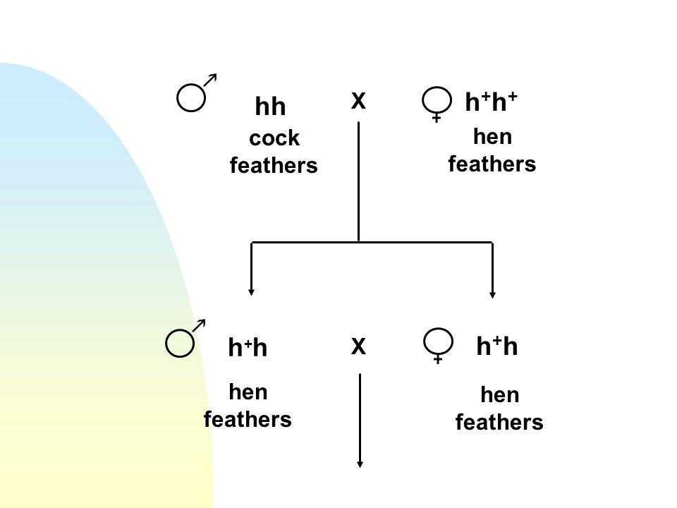 hh X h+h+h+h+ h+hh+h h+hh+h X cock feathers hen feathers