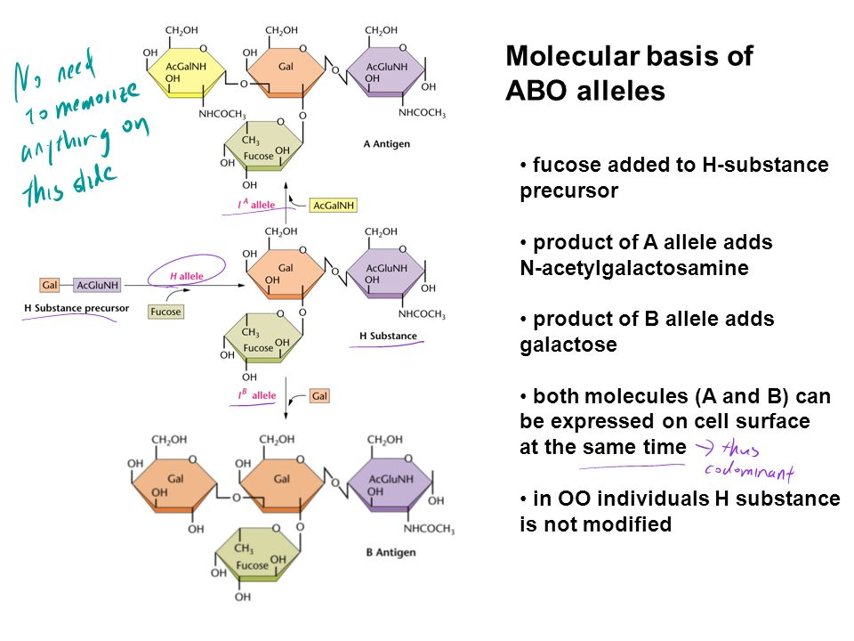 Molecular basis of ABO alleles fucose added to H-substance precursor product of A allele adds N-acetylgalactosamine product of B allele adds galactose