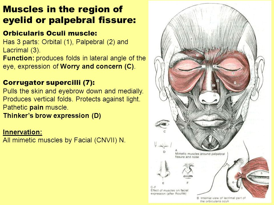 Muscles in the region of eyelid or palpebral fissure: Orbicularis Oculi muscle: Has 3 parts: Orbital (1), Palpebral (2) and Lacrimal (3). Function: pr