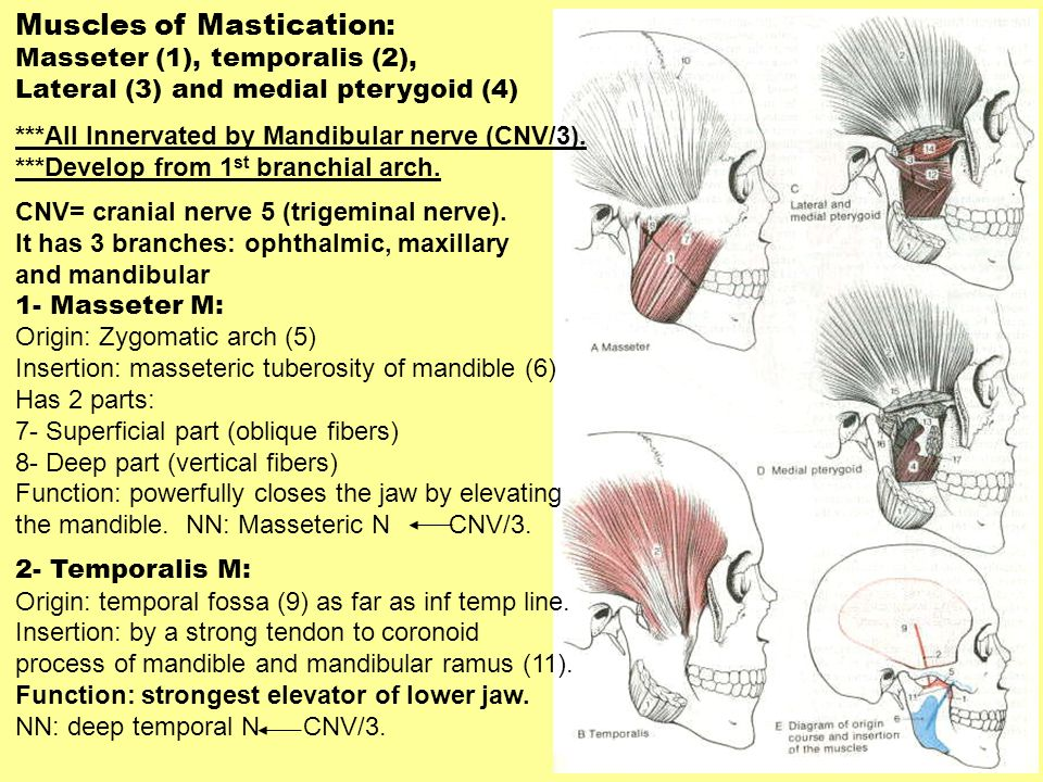 Muscles of Mastication: Masseter (1), temporalis (2), Lateral (3) and medial pterygoid (4) ***All Innervated by Mandibular nerve (CNV/3). ***Develop f