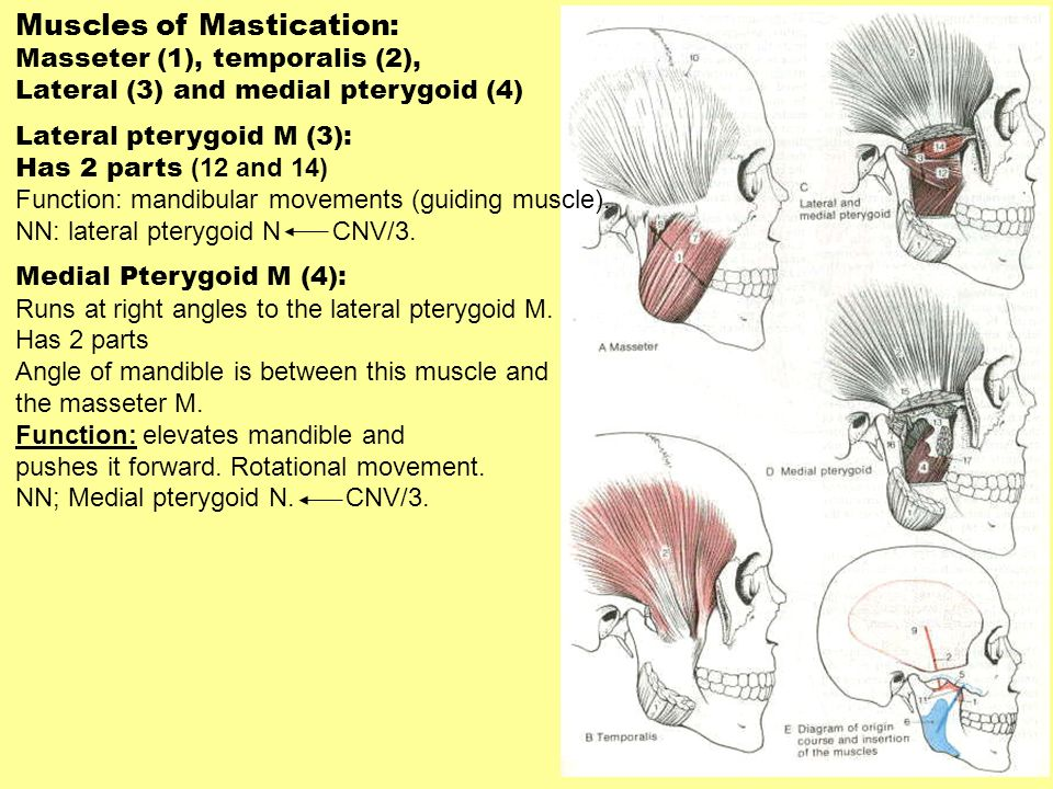 Muscles of Mastication: Masseter (1), temporalis (2), Lateral (3) and medial pterygoid (4) Lateral pterygoid M (3): Has 2 parts (12 and 14) Function: