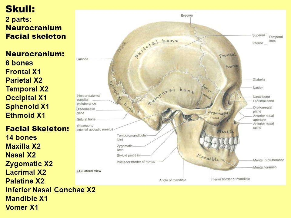 Skull: 2 parts: Neurocranium Facial skeleton Neurocranium: 8 bones Frontal X1 Parietal X2 Temporal X2 Occipital X1 Sphenoid X1 Ethmoid X1 Facial Skele