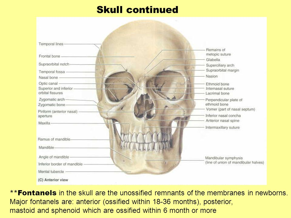 Skull continued **Fontanels in the skull are the unossified remnants of the membranes in newborns. Major fontanels are: anterior (ossified within 18-3