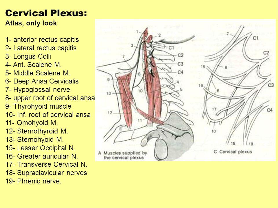 Cervical Plexus: Atlas, only look 1- anterior rectus capitis 2- Lateral rectus capitis 3- Longus Colli 4- Ant. Scalene M. 5- Middle Scalene M. 6- Deep