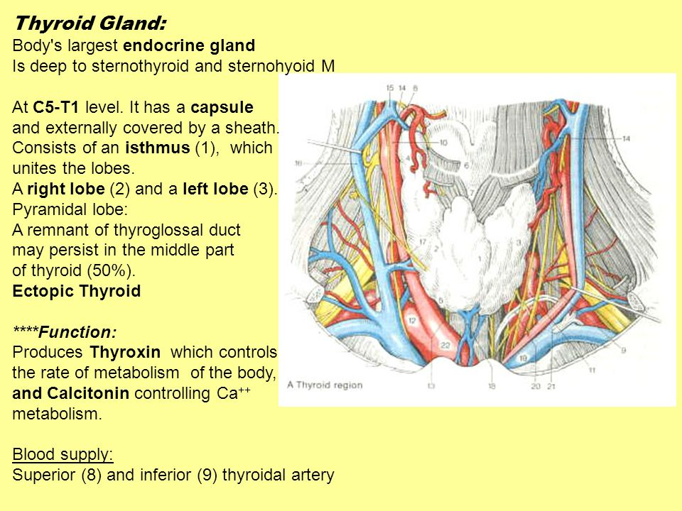 Thyroid Gland: Body's largest endocrine gland Is deep to sternothyroid and sternohyoid M At C5-T1 level. It has a capsule and externally covered by a
