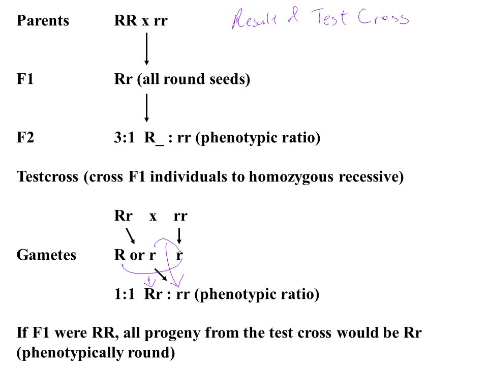 ParentsRR x rr F1Rr (all round seeds) F23:1 R_ : rr (phenotypic ratio) Testcross (cross F1 individuals to homozygous recessive) Rr x rr GametesR or r