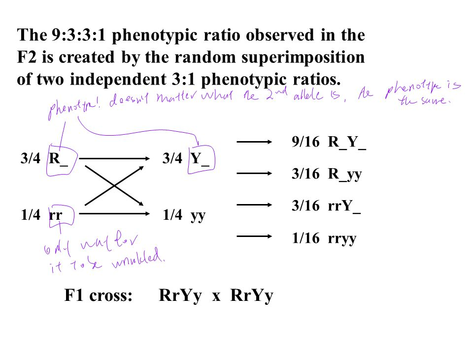 The 9:3:3:1 phenotypic ratio observed in the F2 is created by the random superimposition of two independent 3:1 phenotypic ratios. 3/4 R_3/4 Y_ 1/4 rr