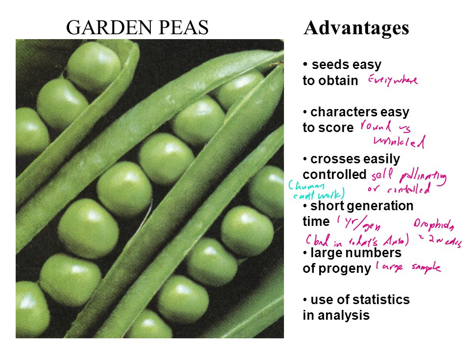 GARDEN PEAS Advantages seeds easy to obtain characters easy to score crosses easily controlled short generation time large numbers of progeny use of s