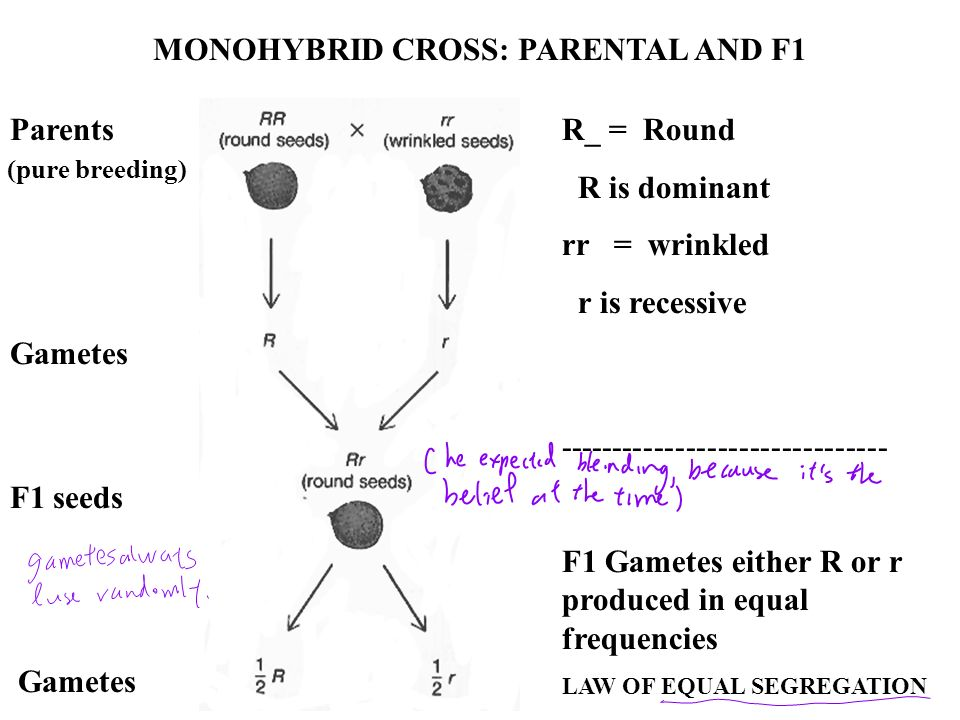 MONOHYBRID CROSS: PARENTAL AND F1 R_ = Round R is dominant rr = wrinkled r is recessive ------------------------------- F1 Gametes either R or r produ