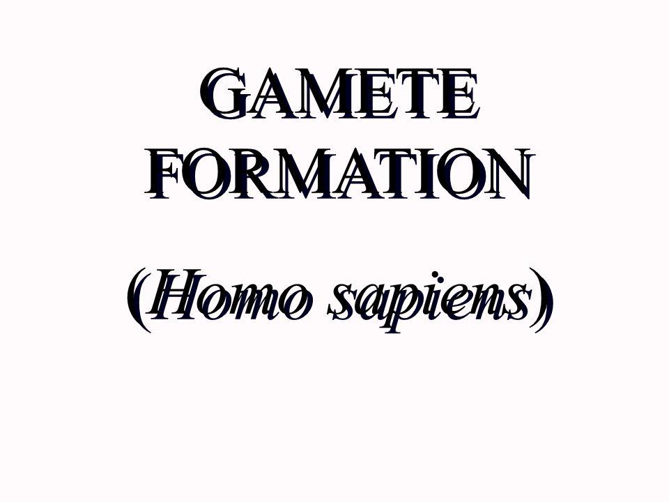 GAMETE FORMATION (Homo sapiens) GAMETE FORMATION (Homo sapiens)