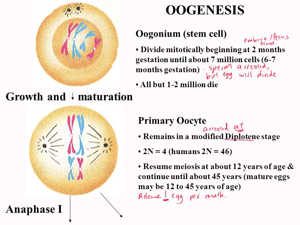 Secondary Oocyte & 1st Polar Body About 400, one day longevity Cytoplasm conserved for ovum N = 2 (humans N=23) Secondary oocyte dies at metaphase II if no sperm penetration Anaphase II Male pronucleus Ovum & 2nd Polar Body One functional cell N = 2 (humans N=23) Male & female pronuclei fuse to form zygote Polar bodies degenerate 1st Polar body 2nd Polar bodies Oocyte Ovum