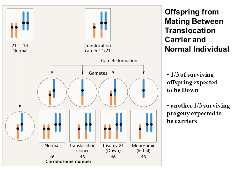 Offspring from Mating Between Translocation Carrier and Normal Individual 1/3 of surviving offspring expected to be Down another 1/3 surviving progeny