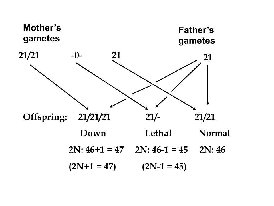 Mothers gametes 21/21 -0- 21 Fathers gametes 21 Offspring: 21/21/21 21/- 21/21 Down Lethal Normal 2N: 46+1 = 47 2N: 46-1 = 45 2N: 46 (2N+1 = 47) (2N-1