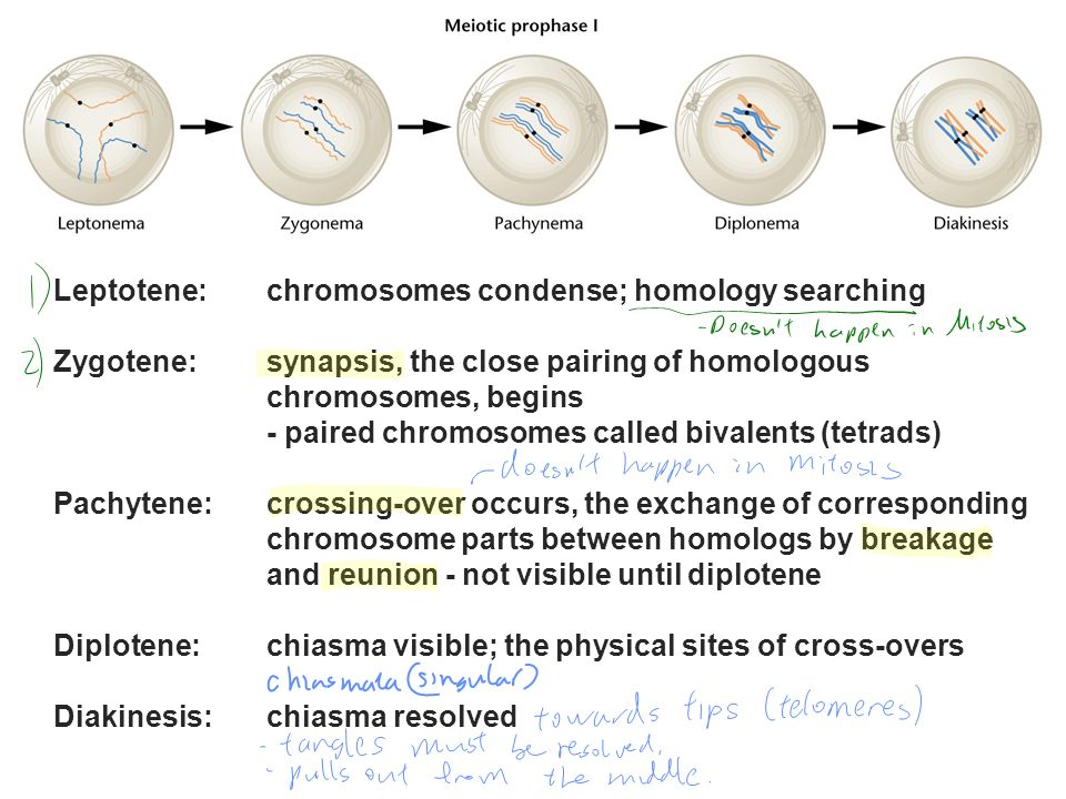 Leptotene:chromosomes condense; homology searching Zygotene: synapsis, the close pairing of homologous chromosomes, begins - paired chromosomes called