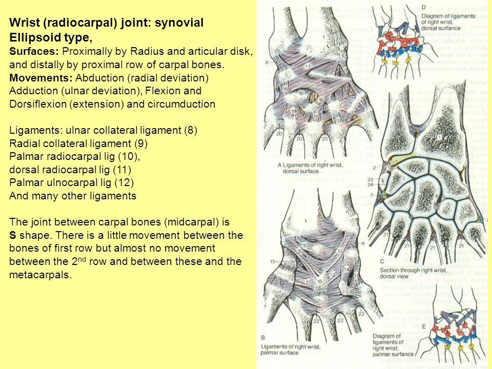 Wrist (radiocarpal) joint: synovial Ellipsoid type, Surfaces: Proximally by Radius and articular disk, and distally by proximal row of carpal bones. M