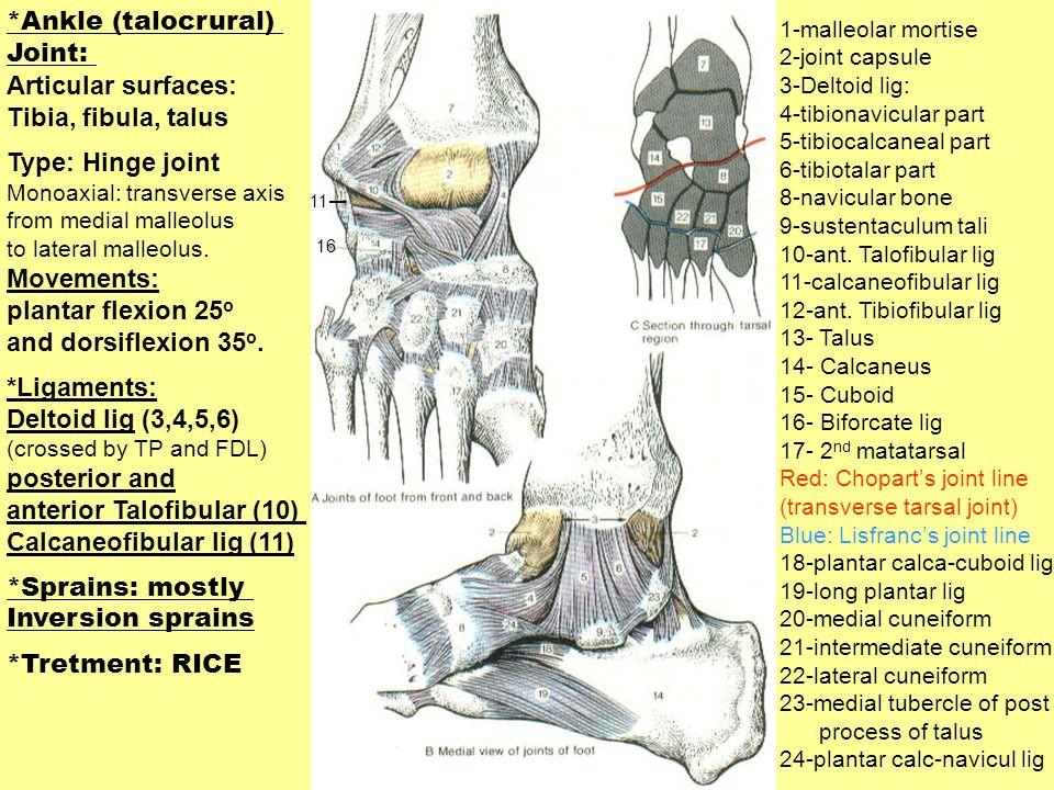 1-malleolar mortise 2-joint capsule 3-Deltoid lig: 4-tibionavicular part 5-tibiocalcaneal part 6-tibiotalar part 8-navicular bone 9-sustentaculum tali