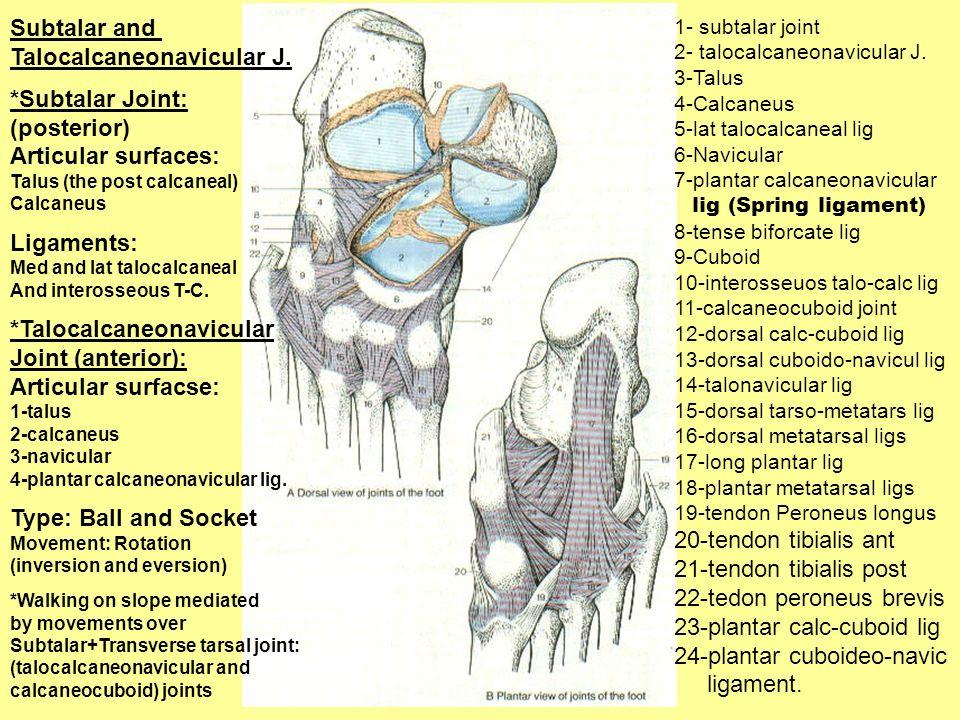 1- subtalar joint 2- talocalcaneonavicular J. 3-Talus 4-Calcaneus 5-lat talocalcaneal lig 6-Navicular 7-plantar calcaneonavicular lig (Spring ligament