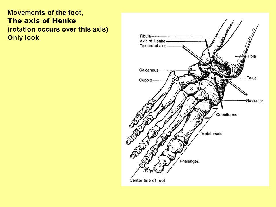 Movements of the foot, The axis of Henke (rotation occurs over this axis) Only look
