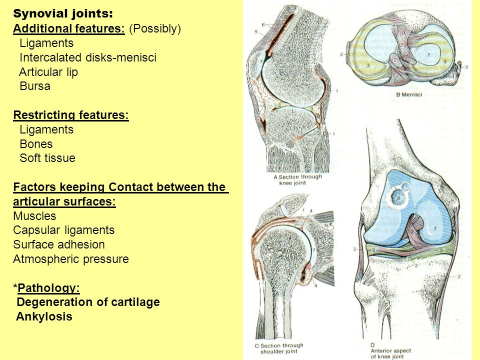 Synovial joints: Additional features: (Possibly) Ligaments Intercalated disks-menisci Articular lip Bursa Restricting features: Ligaments Bones Soft t