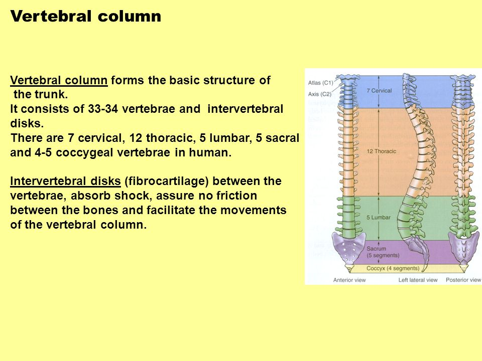 Vertebral column Vertebral column forms the basic structure of the trunk. It consists of 33-34 vertebrae and intervertebral disks. There are 7 cervica
