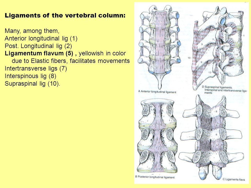 Ligaments of the vertebral column: Many, among them, Anterior longitudinal lig (1) Post. Longitudinal lig (2) Ligamentum flavum (5), yellowish in colo
