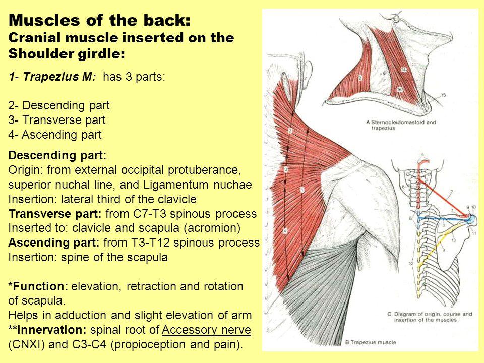 Muscles of the back: Cranial muscle inserted on the Shoulder girdle: 1- Trapezius M: has 3 parts: 2- Descending part 3- Transverse part 4- Ascending p