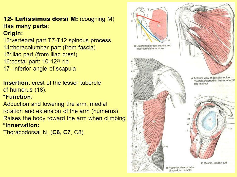 12- Latissimus dorsi M: (coughing M) Has many parts: Origin: 13:vertebral part T7-T12 spinous process 14:thoracolumbar part (from fascia) 15:iliac par
