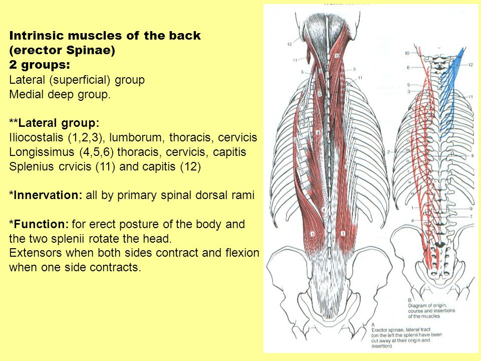 Intrinsic muscles of the back (erector Spinae) 2 groups: Lateral (superficial) group Medial deep group. **Lateral group: Iliocostalis (1,2,3), lumboru