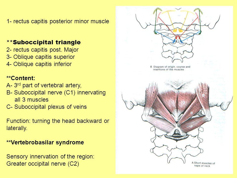 1- rectus capitis posterior minor muscle **Suboccipital triangle 2- rectus capitis post. Major 3- Oblique capitis superior 4- Oblique capitis inferior