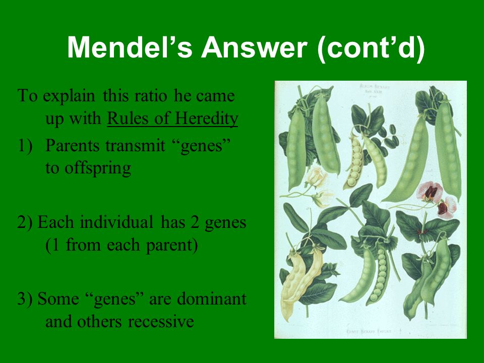 Mendels Answer (contd) To explain this ratio he came up with Rules of Heredity 1)Parents transmit genes to offspring 2) Each individual has 2 genes (1