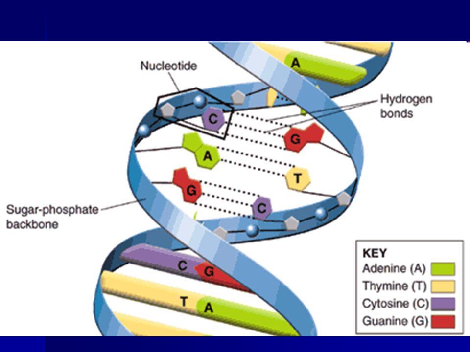 Adenine bonds only to Thymine Cytosine bonds only to Guanine
